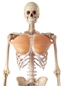 Picture of the pectoralis major being worked by a pec dec