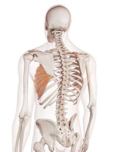 picture of the serratus anterior, a muscle targeted by the pec dec