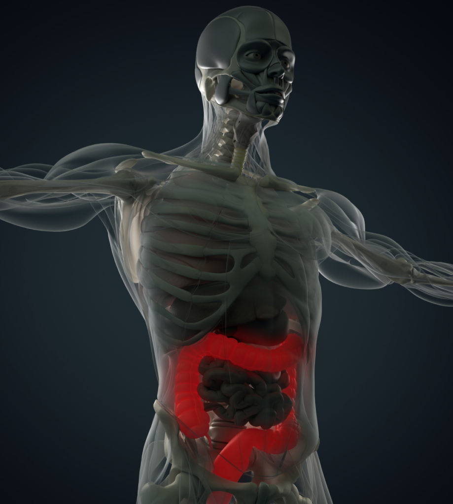 Picture of a human body as shown through an xray with the intestines highlighted in red referring to how astragin will help promote gut health