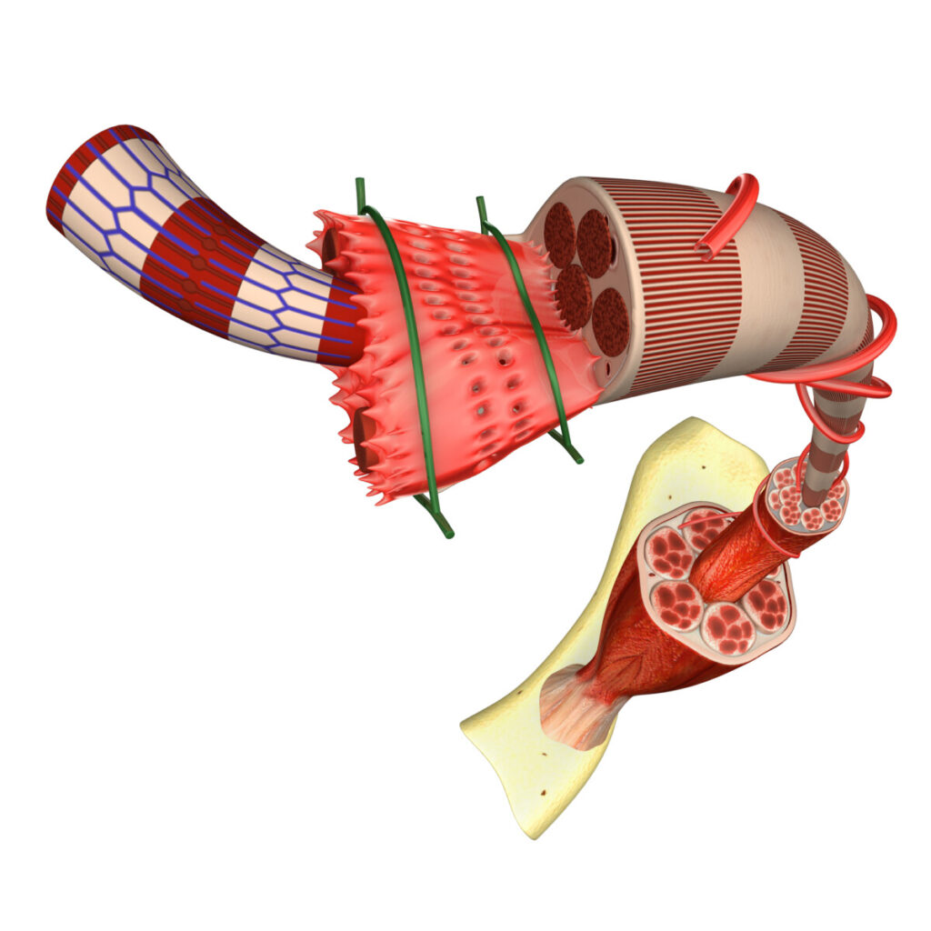 A picture of the anatomy of muscle tissue showing how decaduro helps repair and build muscle.