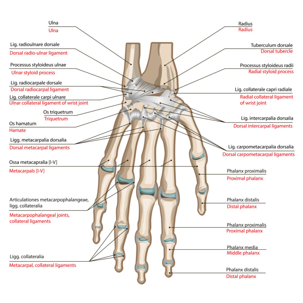 A picture of the human wrist and the different bones in it explaining which ones we use during an ez bar curl.