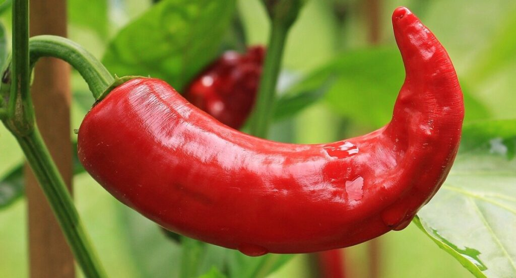 a hot pepper o the vine from the capsicum family ingredient in fat burners
