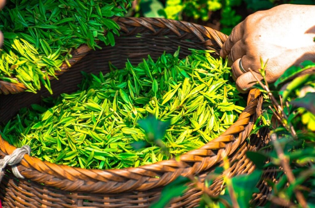 Green tea leaf in a basket as it's being sourced as an ingredient in fat burners